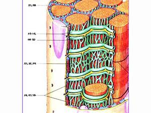 骨骼肌微損傷的炎癥反應中出現的微循環不良